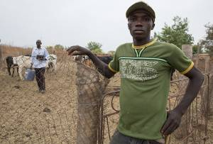 Benogo Diarra, 25, needs to earn enough to cover his subsistence as a miner so he looks after cattle for Modibou Diallo, 42, who is an agronomist in the civil service working for the Sélingué dam management agency (ODRS) (Photo: Mike Goldwater/GWI)