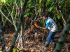 Man cutting a cacao fruit from the tree
