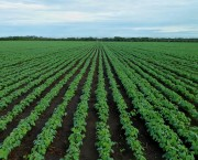 Many crops today are grown in monocultures like this soybean field (Photo: via Pixabay)