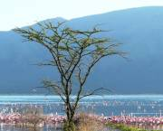 Lake Bogoria is home to one of the world's largest populations of Flamingos. It has been a protected reserve since 1973. The lake area was the traditional home of the Endorois people, who were forced to leave the area in the 1970s (Photo: Geoffroy Mauvais/IUCN)