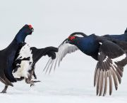 Black grouse fight in Vaala, Finland. The country is committed to protecting biodiversity under its implementation of the sustainable development goals (Photo: Markus Varesvuo/NPL/Barcroft)