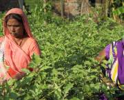 Women harvesting brinjal near the Indian city of Gorakhpur. Peri-urban agriculture helps to ensure local food supplies, especially of fruit and vegetables (Photo: Gorakhpur Environmental Action Group)
