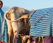 Early start: A cow being milked at first light in the village of Kimokouwa (credit: Toby Mitchell)