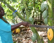 Woman farmer holds a machete to a cocoa plant