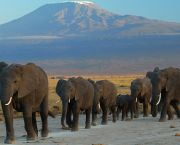 Elephants in front of Mount Kilimanjaro. The blurring of fact and fiction, such as claims trophy hunting is driving declines of endangered species such as elephants, is fuelling a debate that could do more harm than good for conservation and for poor people (Photo: Amoghavarsha, via Google licence)