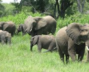 A herd of elephants (Photo: Sean Habig, Creative Commons, via Flickr)