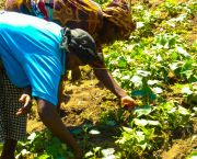 African women provide the majority of food production labor in the family, but do not necessarily own the land. Research has shown that ensuring land rights for women, such as these Kenyan farmers, can positively influence food security and economic development (Photo: Bonnie McClafferty/IFPRI, Creative Commons, via Flickr)
