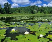 Lillies spread over a pond; cities must be governed and managed well to ensure population growth is sustainable (Photo: hqworld)