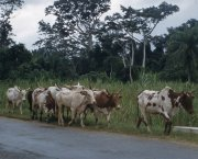 Cattle are driven down a road by nomads