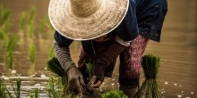 A woman planting rice