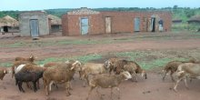 Sheep wander past a former IDP camp in northern Uganda.