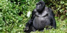 Bwindi Impenetrable National Park is home to roughly 340 mountain gorillas, half of all gorillas left in the world. Tracking gorillas is the park's main tourist attraction (Photo: Ronald Woan, Creative Commons via Flickr)