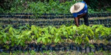 A woman bends over to tend to rows and rows of small trees being grown