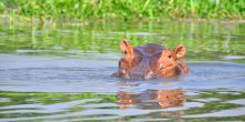 Hippos are poached at Queen Elizabeth National Park for food, to generate income, and for cultural purposes such as to improve fertility (Photo: Tiziana Zoccheddu)