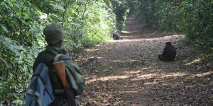 Man looks at two chimpanzees on a forest path