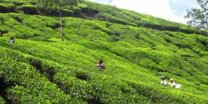 Workers in a tea plantation. (Photo: Anil Wadghule, Creative Commons via Flickr)