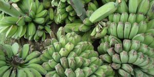 Saba bananas, a cooking banana from the Philippines. Grassroots organisation FARMCOOP works with Philippine farmers' cooperatives to negotiate fair contracts and build capacity (Photo: Obsidian Soul, Creative Commons via Wikimedia)
