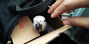 A parrot looking out of a cardboard box in a shopping bag