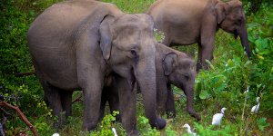 Three elephants eating