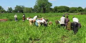 People bending over a field of crops
