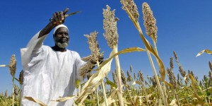 Man harvests sorghum seeds