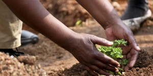 Two hands planting a small plant in the soil