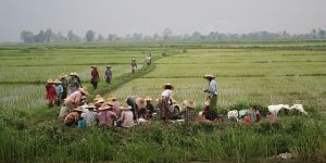 Coming in for lunch in the rice fields near Inle Lake, Myanmar. Online databases can provide verified data on land conflicts and help resolve disputes and improve governance (Eric Brochu, Creative Commons via Flickr)