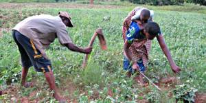Farmers tend crops in a field