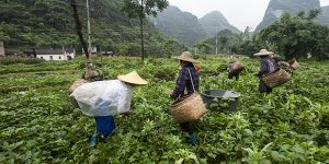 Women harvesting vegetables in Shanggula village, Guangxi province, China, can share lessons on sustainable farming with the rest of the world (Photo: Simon Lim)