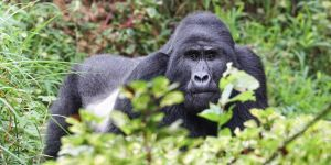 Gorilla tourism in Uganda's Bwindi national park generates money for conservation, but not much for locals. Uganda PCLG is working to grow community income from tourism (Photo: Matthias Neuhaus, Creative Commons via Flickr)