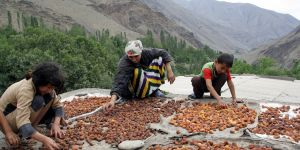 Sorting apricots in Tajikistan. The diverse and extreme climatic conditions of Central Asia helped farmers develop fruit varieties adaptable to drought and other environmental stresses (Photo: UNDP, Creative Commons via Flickr)