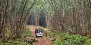 Stands of giant bamboo, in what was once degraded cattle pasture, are ready to be loaded onto trucks (Photo: Duncan Macqueen)