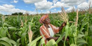A woman farmer in Malawi, surrounded by maize, examines her crop