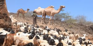 A herder with his livestock in Isiolo County, Kenya (Photo: Dorine Odongo/ILRI, Creative Commons via Flickr)