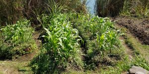 Maize cultivation along the Kafue river in Kitwe, Zambia. Water levels in the river have decreased because of deforestation in the river's catchment area (Photo: Barbara Adolph/IIED)