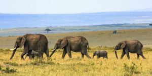 Elephants roam the plain in Kenya