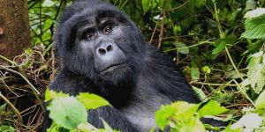 A mountain gorilla