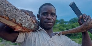 A logger poses with a small mukula tree cut from deep in the forest.