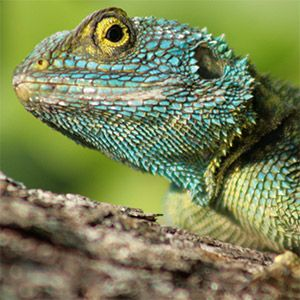 Agama Lizard, Uganda. Seven of Africa's biogeographic regions converge in Uganda, making it a country with a high level of biodiversity (Photo: Michael Sale, Creative Commons, via Flickr)