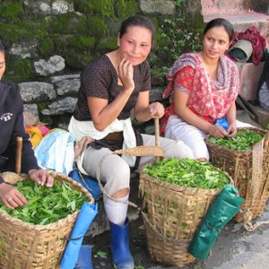 A row of women sitting with baskets of freshly picked tea leaves