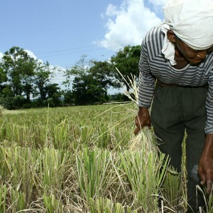 An elderly woman bends over while planting rice