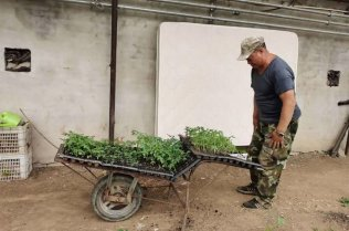 A man with a trolley of tomato seedlings