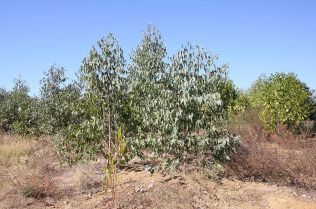 Eucalyptus trees planted one year ago