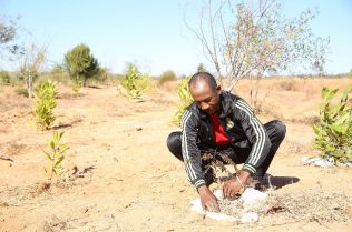 François takes special care as he plants a young rosewood tree