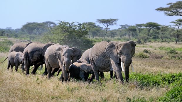 Elephants in the Serengeti National Park in Tanzania. The Park is listed as a UNESCO World Heritage Site. (Photo: George Lamson, Creative Commons via Flickr)