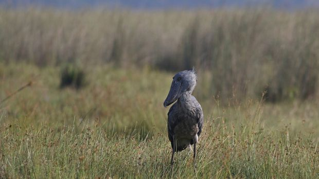 The rare Shoebill stork stands over a metre tall and lives in the Mabamba wetland system along Uganda's Lake Victoria. Engaging local communities in tourism has helped to protect the local ecosystem (Photo: Brendan Ryan, Creative Commons via Flickr)