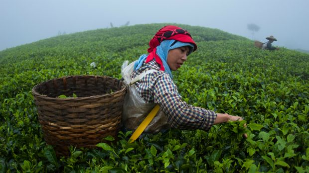 A tea picker from Cianten, within the boundaries of Mount Halimun Salak National Park in West Java, starts collecting tea leaves in a basket at 6am (Photo@ CIFOR, Creative Commons, via Flickr)