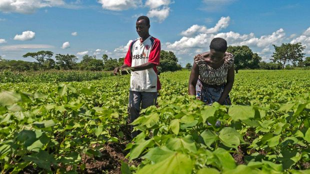 Farmers checking cotton plants in Eastern Zambia