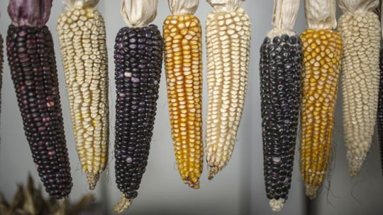 Maize varieties on display at the 'Voice of Maize' event in Mexico 2016 (Photo: CCAP)