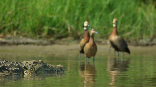 A crocodile and three ducks